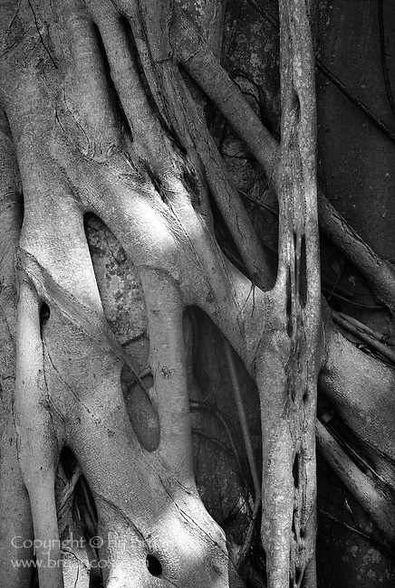 Fig tree roots, Marie Selby Botanical Gardens, Florida
