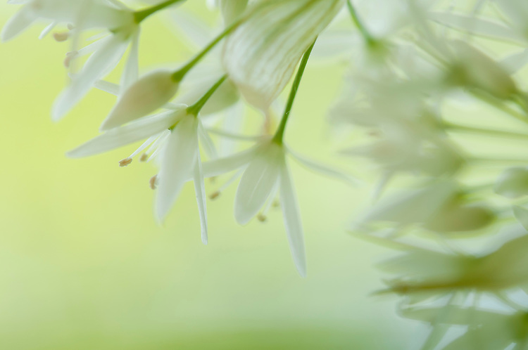 Wild garlic, Allium ursinum, flowers in coppiced woodland reserve. Siccaridge woods, Sapperton, Gloucestershire. UK.