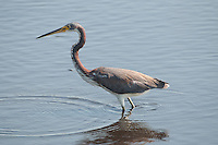 Tricolored Heron (Egretta tricolor), Merritt Island National Wildlife Refige, Titusville, Florida, US