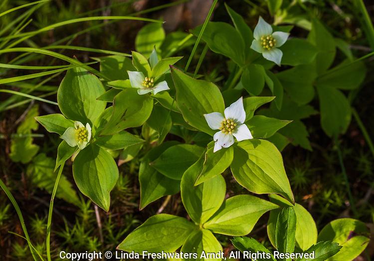 Bunchberry flowering in northern Wisconsin.