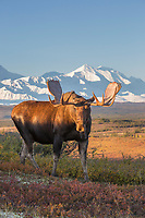 Bull moose on the tundra in front of Mt. Foraker, Denali National Park, Alaska.