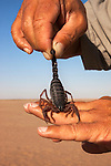 Black (hairy thicktailed) scorpion (Parabuthus villosus), Namib Desert, Namibia, April 2013