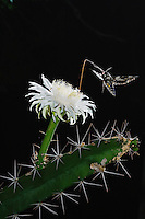 Sphinx Moth (Sphingidae), adult at night drinking out of Night-Blooming Cereus (Peniocereus greggii), Rio Grande Valley, Texas, USA