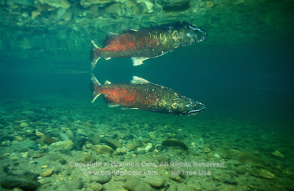 gx11247. Chinook Salmon (Oncorhynchus tshawytscha). Washington, USA..Photo Copyright © Brandon Cole. All rights reserved worldwide.  www.brandoncole.com..This photo is NOT free. It is NOT in the public domain. This photo is a Copyrighted Work, registered with the US Copyright Office. .Rights to reproduction of photograph granted only upon payment in full of agreed upon licensing fee. Any use of this photo prior to such payment is an infringement of copyright and punishable by fines up to  $150,000 USD...Brandon Cole.MARINE PHOTOGRAPHY.http://www.brandoncole.com.email: brandoncole@msn.com.4917 N. Boeing Rd..Spokane Valley, WA  99206  USA.tel: 509-535-3489
