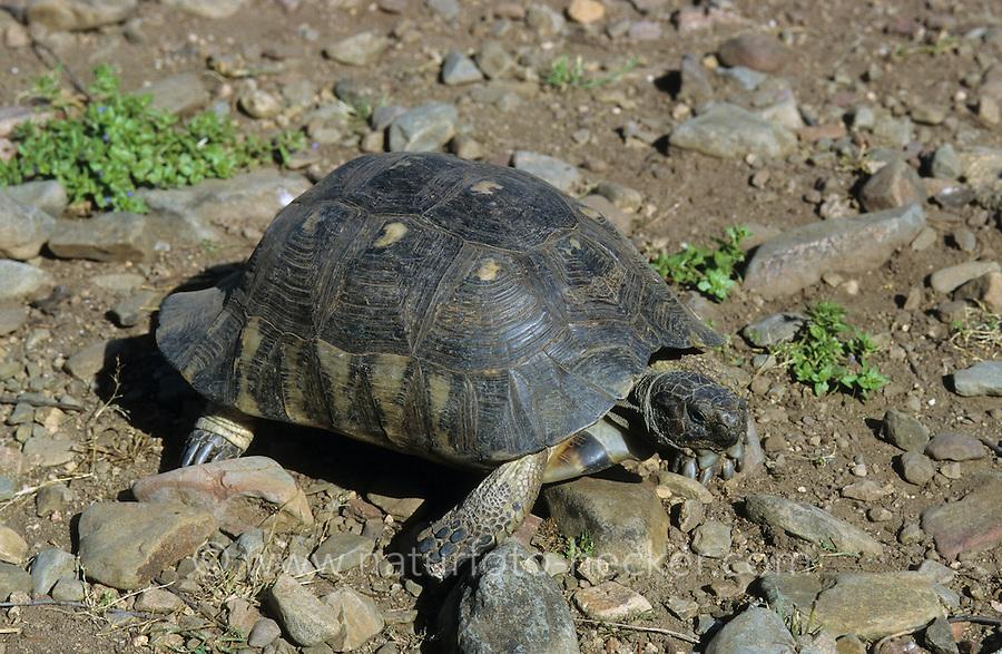 Breitrandschildkröte, Breitrand-Schildkröte, Schildkröte, Landschildkröte, Testudo marginata, margined tortoise, marginated tortoise