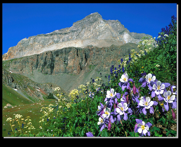 Columbine flowers high up Yankee Boy Basin, Ouray, Colorado. <br /> A classic, but rugged place to photograph wildflowers and climb peaks, like Mt Sneffels. John guides custom photo tours in the Sneffels Range and throughout Colorado.