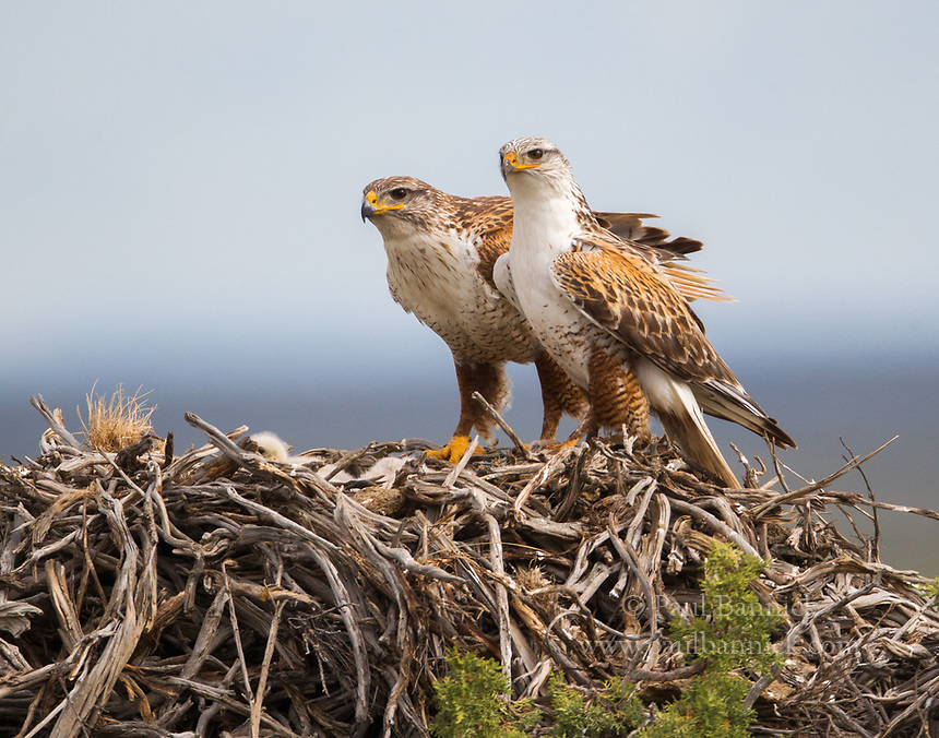 A pair of Ferruginous Hawks stand guard above their young.
