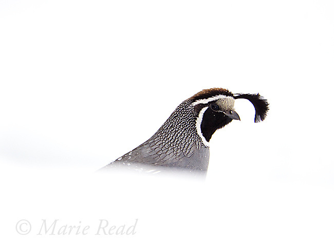 California Quail (Callipepla californica), male emerging from behind snowbank in winter, Mono Basin, California, USA