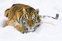 Siberian Tiger lying in the snow and watching intently - CA