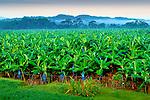 Costa Rica, Puerto Viejo de Sarapiqui, Banana Plantation, Early Morning, Fog