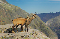 Chamois (Rupicapra rupicapra), adult with young standing on ledge, Grimsel, Bern, Switzerland