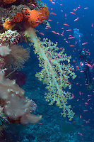 Alcyonarian coral dominates this reef scene with a diver (MR). Indonesia.