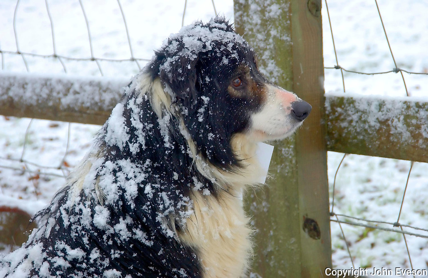 Sheepdog in the snow waiting to be sold at a sale in Skipton.