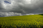 Overcast grey sky over crop of oilseed rape in Aschaffenburg area, Bavaria, Germany.