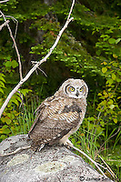 An owl sits perched on a rock.
