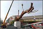 La nuova scultura di Giuseppe Penone INLIMINE posata all'ingresso della Galleria d'Arte Moderna