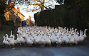 "19/11/16<br /> <br /> Waddling down a frosty lane a flock of 500 geese take their daily morning walk from their barn through the village of Croxton Kerrial, near Grantham. <br /> <br /> The geese spend their day grazing in a field over-looked by the village church in Lincolnshire, before waddling back to their warm barn again at dusk. <br /> <br /> Richard Botterill who owns Botterill & Son in Croxton Kerrial near Grantham, said: ""The geese have fattened up well this year because of the warm summer - they're about 10% heavier than normal. They've gained weight because they haven't had to burn up their food just keeping warm.""<br /> <br /> But you'll need to be quick if you want to have a gander at these feathery commuters, as the six-month-old birds will all take their last stroll through the village next week as demand for goose on the Christmas dinner table continues to rise year-on-year.<br /> <br /> The farm has a total of 1500 geese and also supplies turkeys, duck and chicken for Christmas.<br /> <br /> The geese have walked through the village for 25 years.<br /> <br /> All Rights Reserved F Stop Press Ltd. (0)1773 550665   www.fstoppress.com"