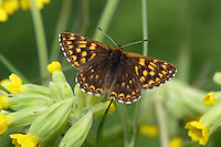 Duke of Burgundy Hamearis lucina Wingspan 25mm. A tiny butterfly, unrelated to true fritillary butterflies. Flight is rapid and buzzing. Adult has upperwings that are beautifully patterned with orange and brown; underwings, particularly hindwings, have striking white spots. Flies May–June. Larva is brown and is nocturnal; feeds mainly on Cowslip but also Primrose. Local and declining, confined to chalk downs in southern England where larval foodplants grow.
