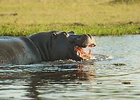 Hippos of Africa