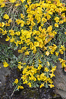 Hairy Greenweed - Genista pilosa