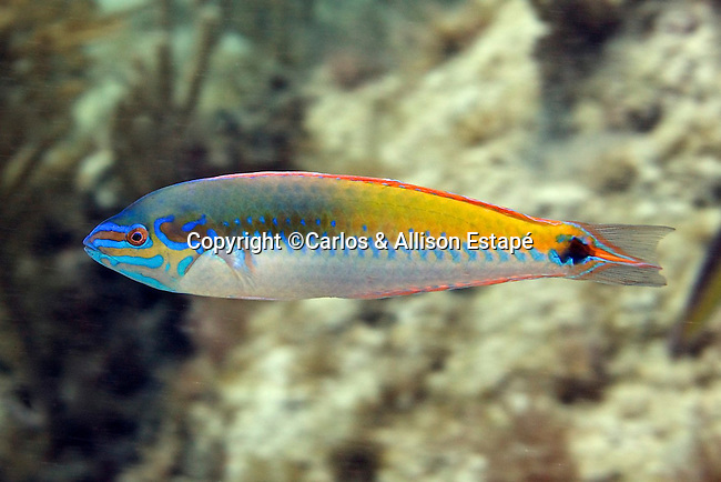 Halichoeres pictus, Rainbow wrasse, Florida Keys