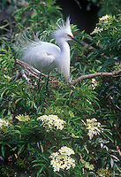 Snowy egret (Egretta thula) on flowering Florida elder, Florida