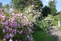 Old fashioned roses explode with delicate pink blossoms next to a gateway into the garden