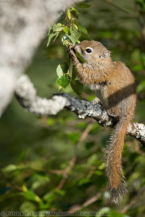 Red squirrel, Katmai National Park, Alaska.