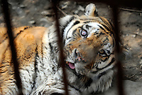 A tiger blind in one eye  at the Xiongshen Tiger and Bear Park in Guilin China. The park has farmed 1500 tigers and sells an illegal tiger bone wine to tourists that visit the park.