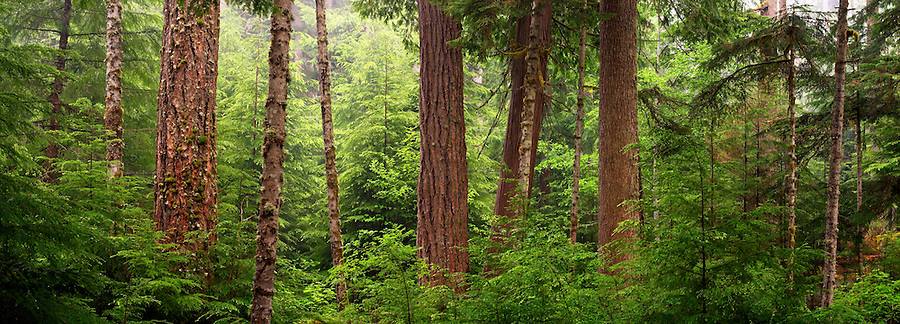 Panoramic view of trees in the Elwha River valley, Elwha Trail, Olympic National Park, Olympic Peninsula, Clallam County, Washington, USA
