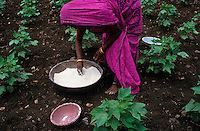 Indien Landarbeiterin verstreut per Hand chemische Duenger in Bt Baumwollfeld / INDIA female farm labourer applies synthetic fertilizer in BT cotton field