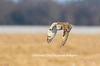 Short-eared Owl (Asio flammeus) in flight Prairie Ridge State Natural Area Marion Co. IL