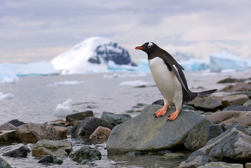 A gentoo penguin scans the waters off Danco Island, Antarctica before heading in for swim.