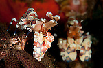 A pair of Harlequin shrimp: Hymenocera elegans, with one feeding off a starfish, Tulamben, Bali
