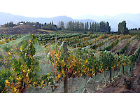 A Viognier grape vineyard located at Benson Vineyards in Lake Chelan. Benson's Viognier has received rave reviews by wine connoisseurs.....