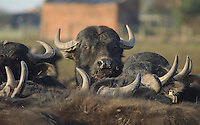 Water Buffalo cows,Yorkshire.