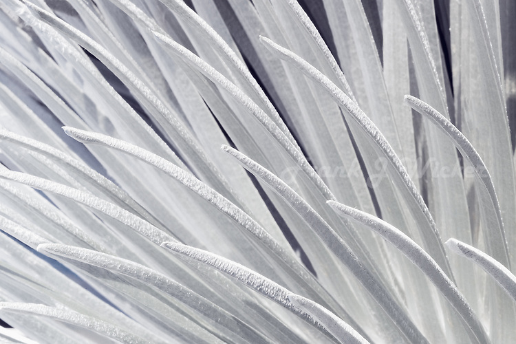 Close up abstract images of the silversword plant in HALEAKALA NATIONAL PARK on Maui in Hawaii