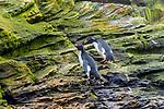 Falkland Islands / Islas Malvinas (British Overseas Territory), rockhopper penguin (Eudyptes chrysocome)