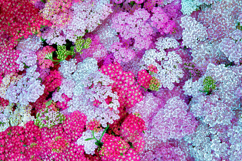 Mixed Yarrow. Lake Oswego Farmers Market. Oregon