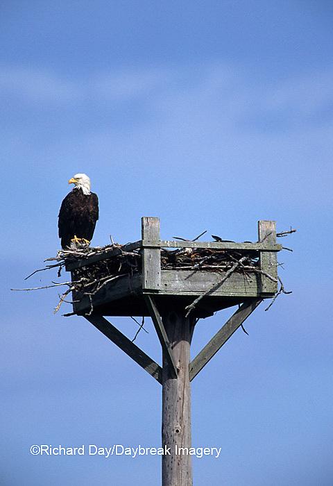 00807-02514 Bald Eagle (Haliaeetus leucocephalus) at nest platform Moosehorn NWR   ME