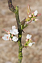 Spring blossom of Asian pear 'Hoshi', late March.