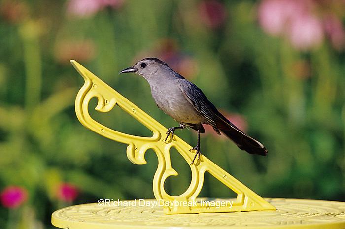01392-03010 Gray Catbird (Dumetalla carolinensis) on sundial near flower garden Marion Co IL
