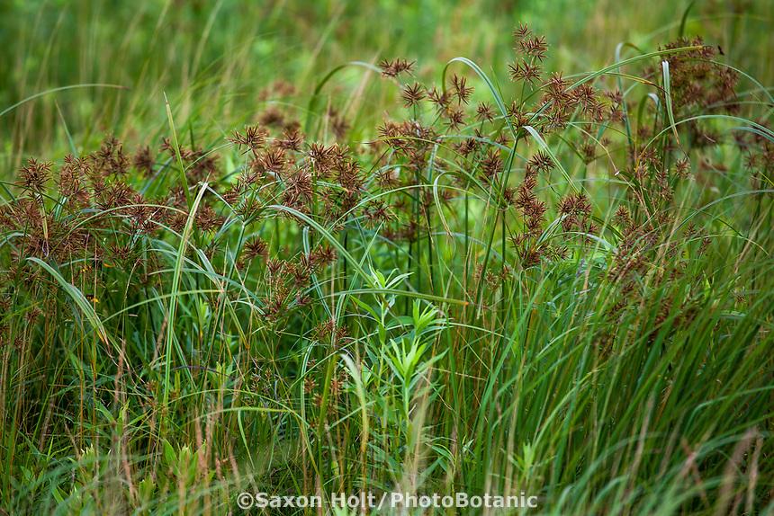 Cyperus setigerus, Lean Flatsedge flowering in Tallgrass Prairie Preserve, Oklahoma