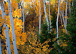 Montana, Southwest, Beaverhead county, Centennial valley. Colorful aspens in fall.