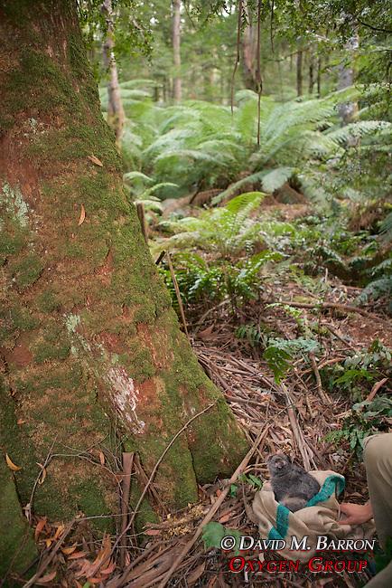 Mountain Brushtail Possum