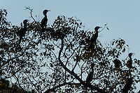Silhouette of Neotropic Cormorants (Phalacrocorax brasilianus) perched high up in a tree overlooking the Cuiabá River, The Pantanal, Brazil.