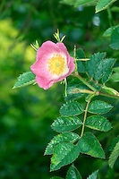 SWEET-BRIAR Rosa rubiginosa (Rosaceae) Height to 3m<br /> Compact shrub with upright stems that bear short, curved thorns, bristles and glands. Found in hedgerows and scrub. FLOWERS are 2-3cm across and pink; in clusters of up to 3 flowers (Jun-Jul). FRUITS are ovoid, red hips with persisting sepals. LEAVES have 5-7 oval, toothed and sweet-smelling leaflets. STATUS-Locally common in S.