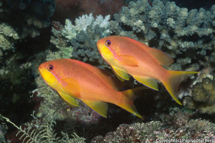 Pair of female Scalefin Anthias.(Pseudanthias squamipinnis).Fiji