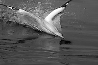 France a gannet northern morus bassan setting on the ocean surface