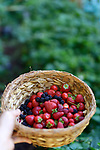 Closeup of a hand holding a straw basket with home grown freshly picked strawberries, blackberries and raspberries with green garden background